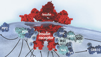 Insulin Signaling